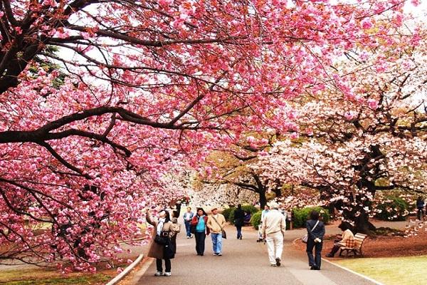 Ngắm hoa anh đào ở thung lũng Kiso