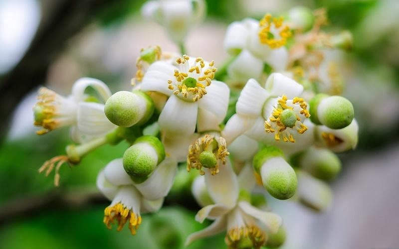 Nồng nàn hoa bưởi Hà Nội