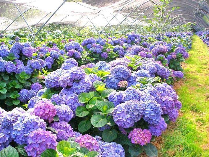 Những vườn hoa cẩm tú cầu